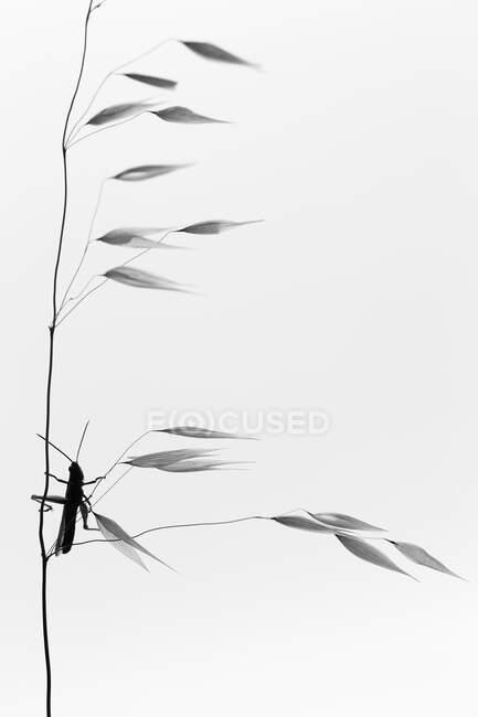 Foto pictórica de la mosca del dragón colgando de la ramita sobre fondo blanco - foto de stock
