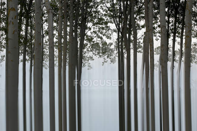 Pictorial view of tranquil forest with long trunks of trees — Stock Photo