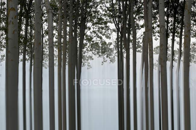 Живописный вид спокойного леса с длинными стволами деревьев — стоковое фото