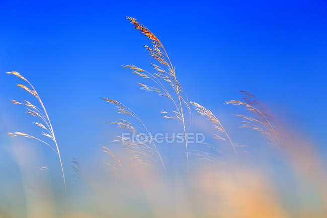 Pictorial view of few golden plant twigs against bright blue sky — Stock Photo