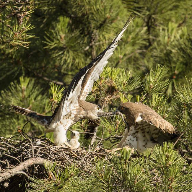 Furious диких Eagles боротьба за змію в гнізді між хвойними сучків — стокове фото