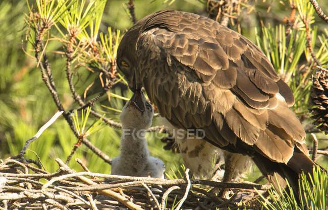 Furious Дикий орел сидить біля маленької птиці і годування в гнізді між хвойними супруми — стокове фото