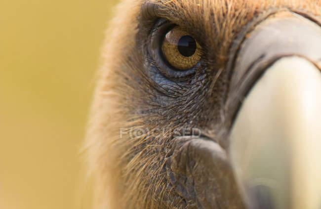 Primo piano di occhio e becco di furioso avvoltoio selvaggio guardando fotocamera su sfondo sfocato — Foto stock