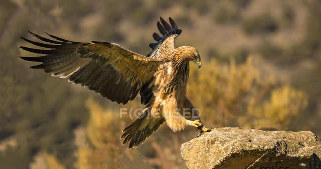 Furioso Aquila selvaggia seduto su roccia con le ali di diffusione su sfondo sfocato — Foto stock