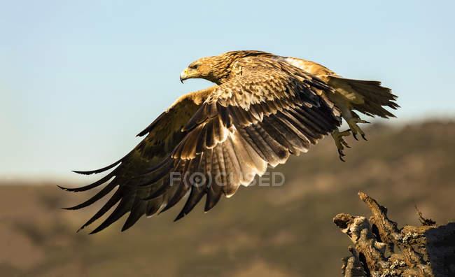 Furioso Aquila selvaggia volare su sfondo sfocato — Foto stock