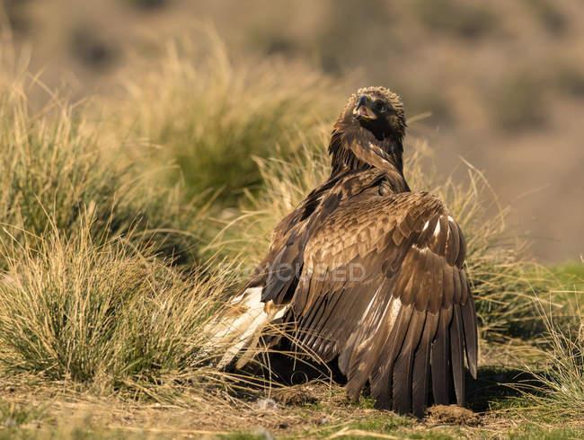 Örliche wilde Adler, die auf Gras auf verschwommenem Hintergrund stehen — Stockfoto