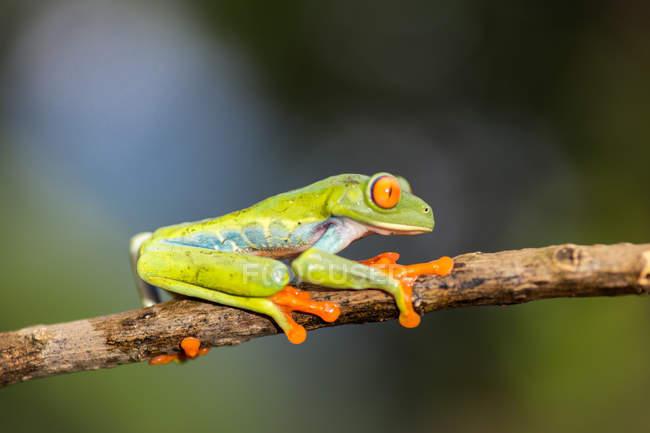 Grenouille aux yeux rouges exotiques assise sur une branche sur un fond flou — Photo de stock