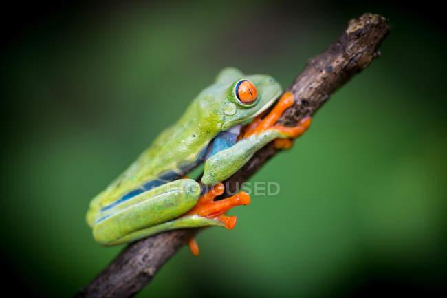 Лягушка с экзотическими красными глазами сидит на ветке на размытом фоне — стоковое фото