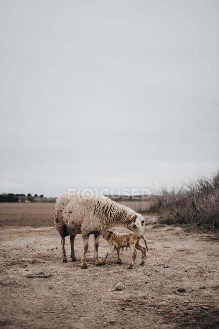 Овцы, пасущиеся в сельской местности в пасмурных облаках — стоковое фото