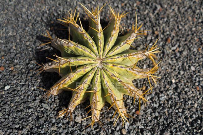 Пучок первобытного кактуса — стоковое фото