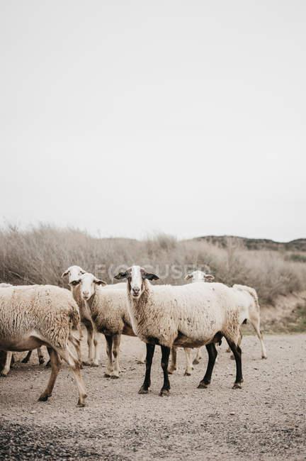 Schafe laufen und grasen in der Landschaft in bewölkten — Stockfoto
