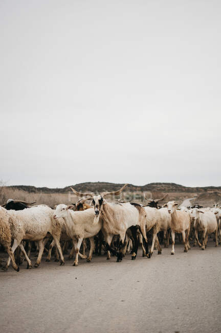 Овцы идут по дороге — стоковое фото