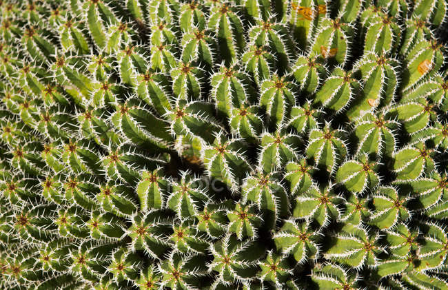 Bunch of prickly cactus — Stock Photo