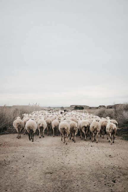 Schafe laufen auf der Straße — Stockfoto