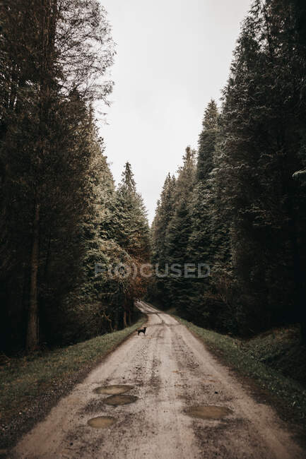 Wonderful forest with conifer trees in majestic countryside rough narrow road — Stock Photo