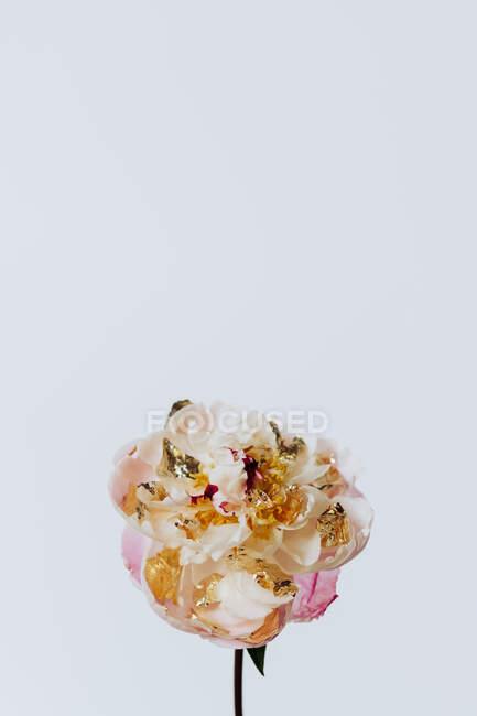 Close-up flower in studio — Stock Photo