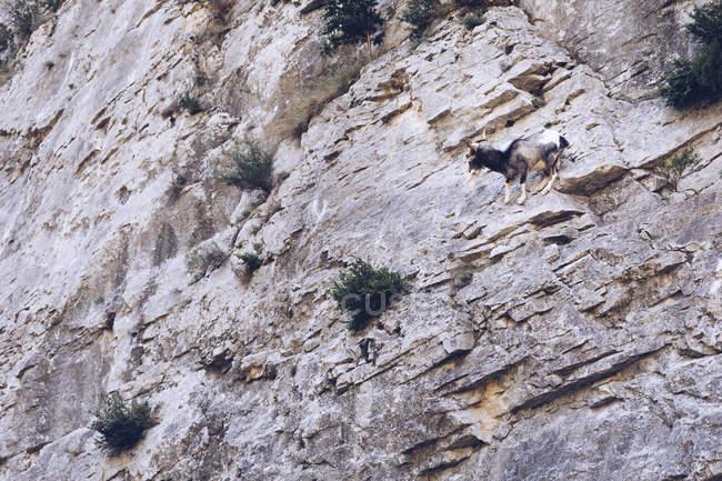 Dal basso capra selvatica su rocce di alta montagna con piante — Foto stock
