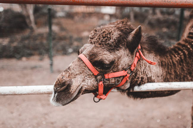 Closeup of domestic camel with bridle pasturing on land — Stock Photo