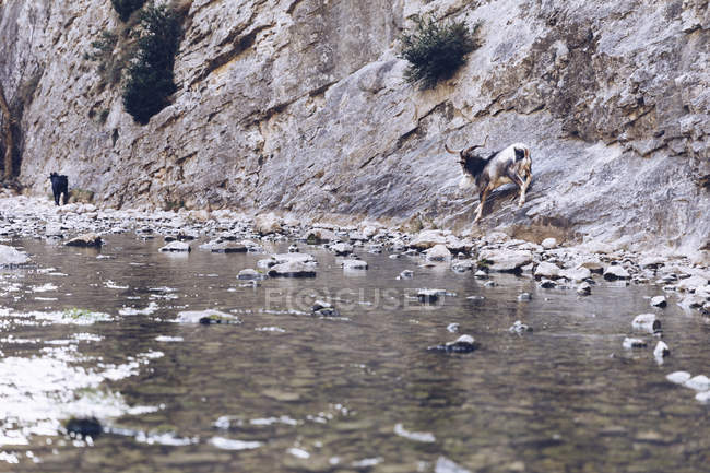 Wild goat standing on rocks near shore of mountain river — Stock Photo