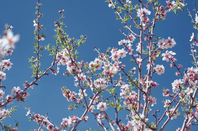 Квітуче дерево плодових гілок проти синього неба — стокове фото