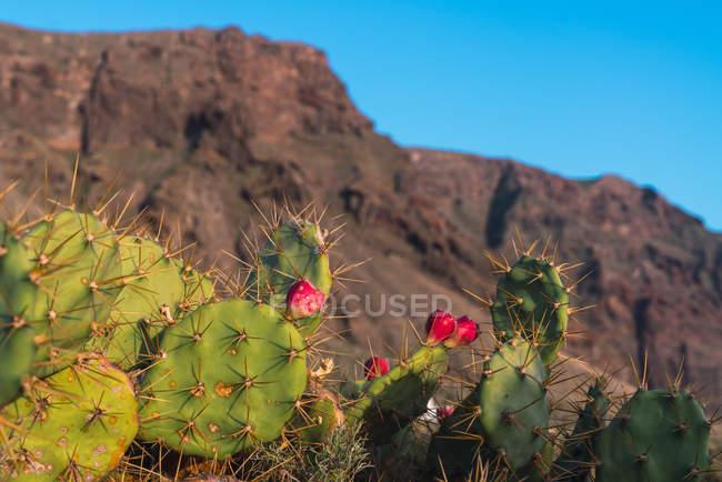 Closeup wild blooming cactus growing near mountain Teide in Tenerife, Canary Islands, Spain — Stock Photo