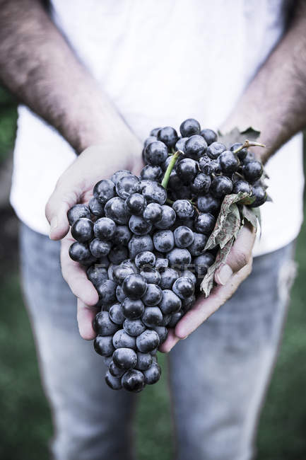 Closeup of human hands holding bunch of grapes outdoors — Stock Photo