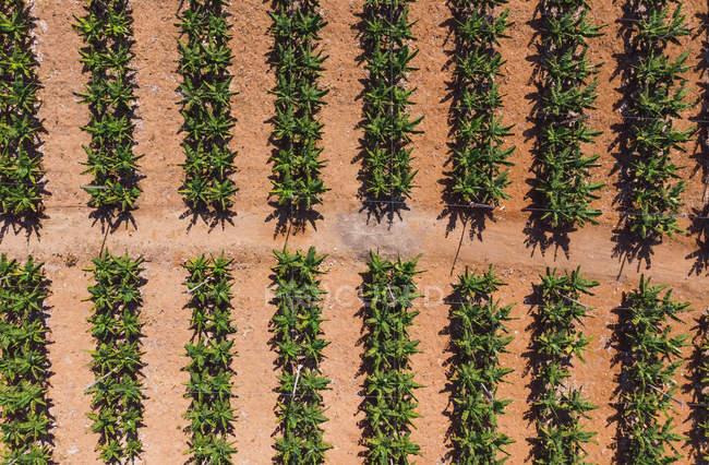 Luftaufnahme von grünen Bananenbüschen, die im Sonnenlicht auf Plantagen wachsen — Stockfoto
