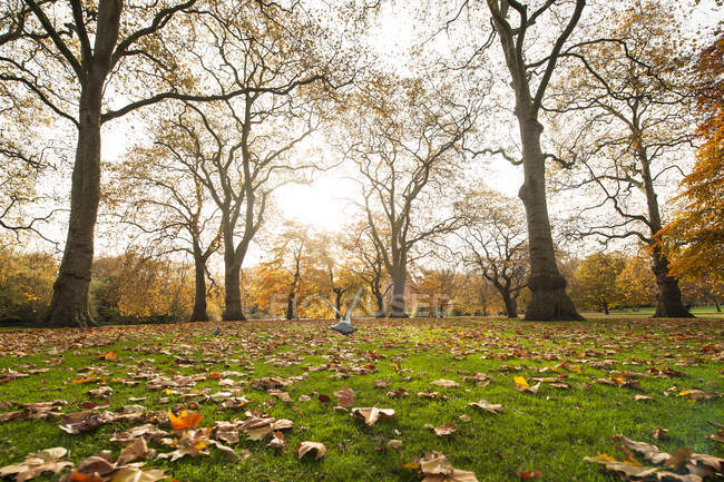 Small pigeon soaring over lawn with dried leaves on sunny day in autumn park — Stock Photo