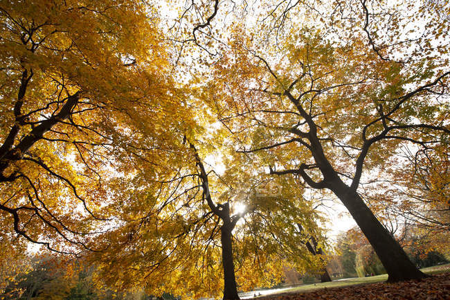 Yellow foliage of trees in autumn park — стокове фото