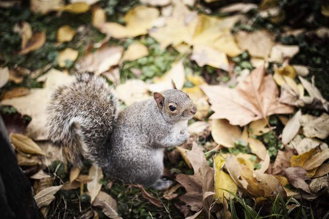 Cute furry squirrel sitting on lawn near dried leaves on autumn day in park — Stock Photo