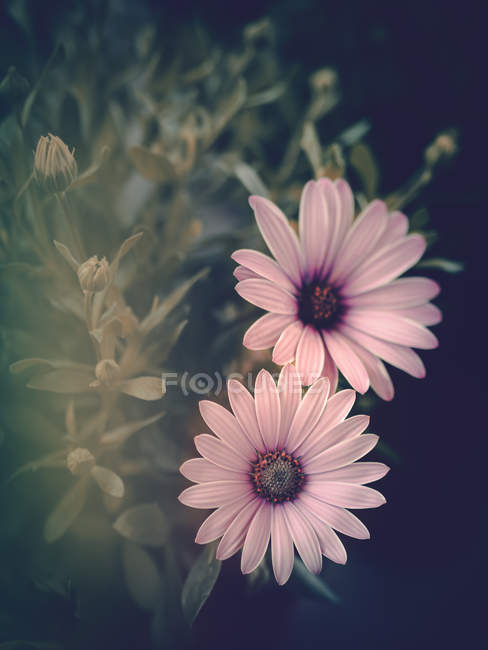 Houseplant квітучі з милою рожеві квіти проти чорного фону — стокове фото