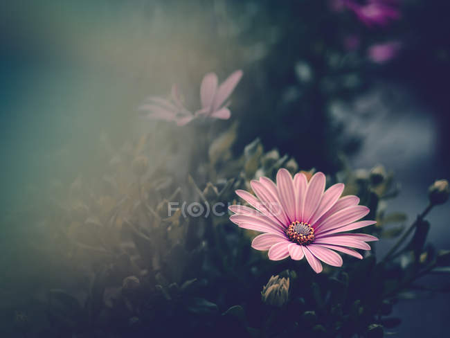 Pink flower growing in garden on blurred background — Stock Photo