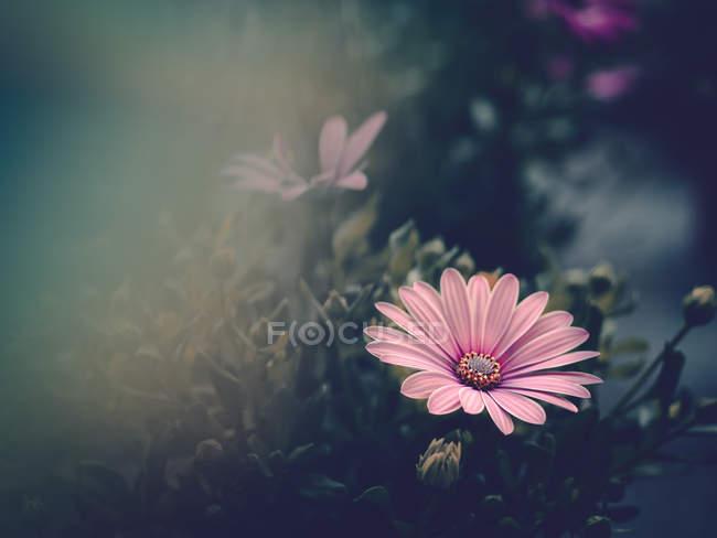 Рожева квітка вирощування в саду на розмитий фон — стокове фото