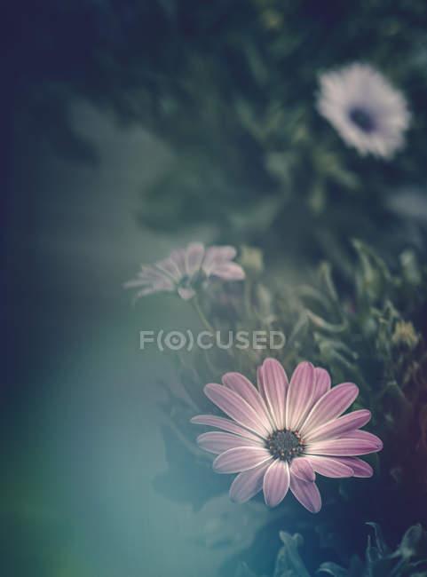 Fleurs roses poussant dans le jardin sur fond flou — Photo de stock