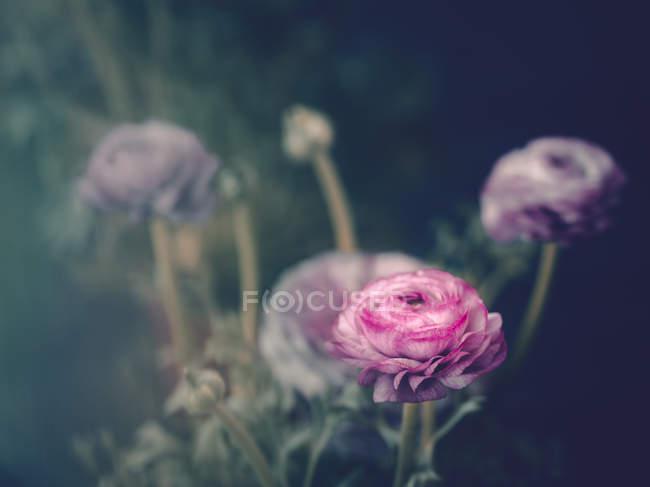 Rosarote Rosen wachsen im Garten auf verschwommenem Hintergrund — Stockfoto