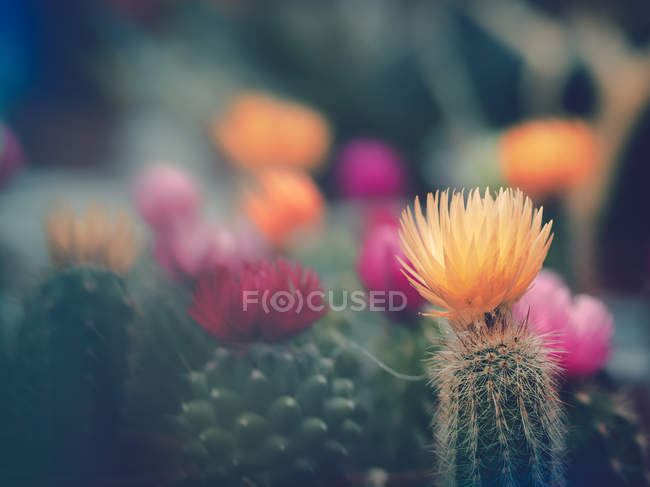 Flowers of cacti growing in garden on blurred background — Stock Photo