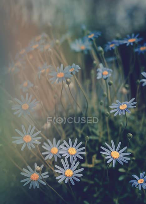 Marguerites bleues poussant dans le jardin sur fond flou — Photo de stock