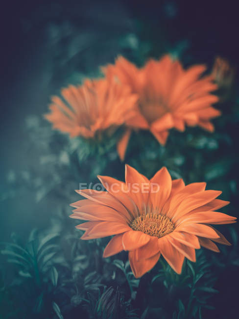 Close-up of orange flowers growing in garden — Stock Photo