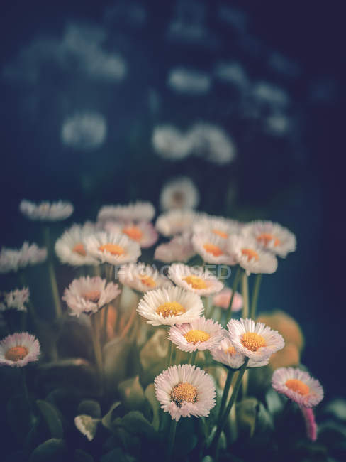Daisies growing in garden on blurred background — Stock Photo