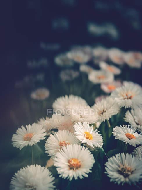 Marguerites poussant dans le jardin sur fond flou — Photo de stock