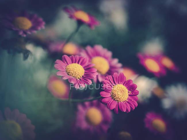 Marguerites roses poussant dans le jardin sur fond flou — Photo de stock