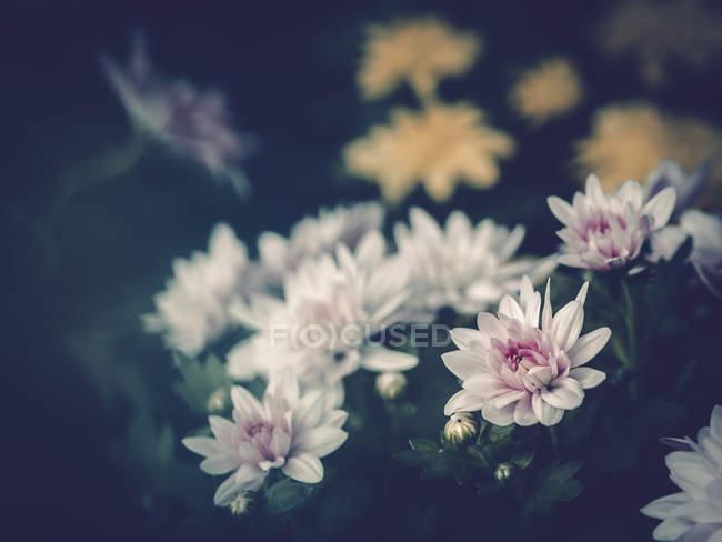 Close-up de flores coloridas crescendo no jardim — Fotografia de Stock