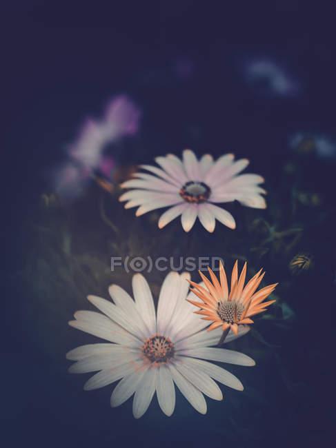 Крупным планом разноцветных цветов, растущих в саду — стоковое фото