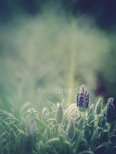 Крупний план вирощування фіолетового квітки в саду — стокове фото