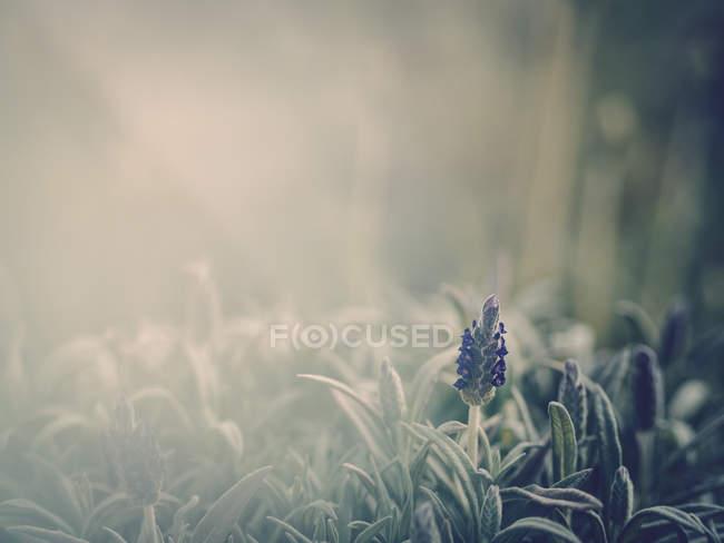 Nahaufnahme einer lila Blume, die im Garten wächst — Stockfoto