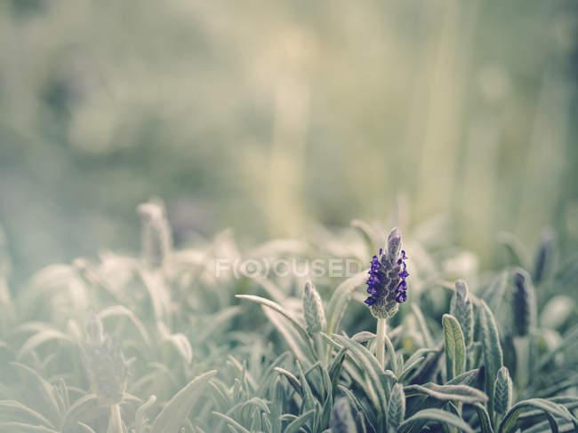 Крупный план фиолетового цветка, растущего в саду — стоковое фото
