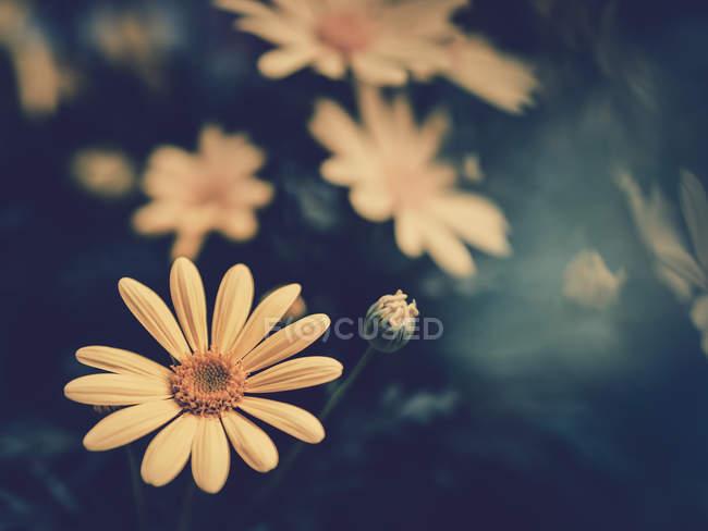 Жовті квіти, що ростуть в саду на розмитий фон — стокове фото