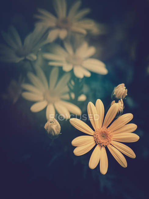 Yellow flowers growing in garden on blurred background — Stock Photo
