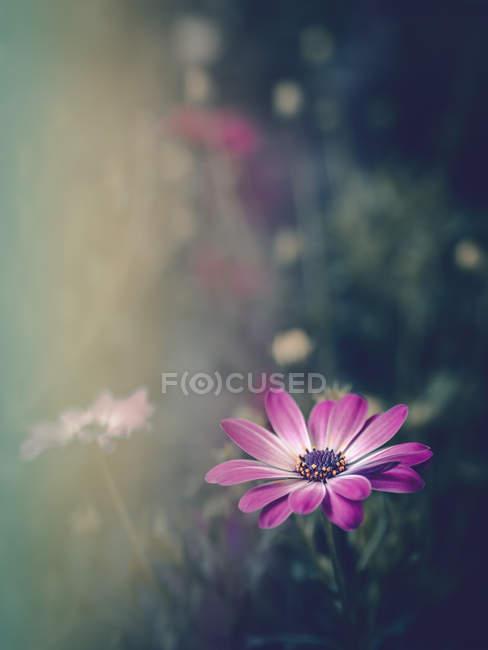 Les fleurs roses dans le champ de la nature et le coucher du soleil — Photo de stock