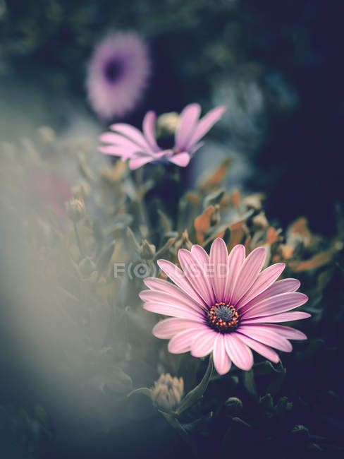 Рожеві квіти, що ростуть в саду на розмитий фон — стокове фото